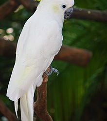 Male and female cockatoo parrot