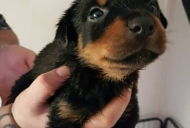 little  rottie looking for a Loving Home