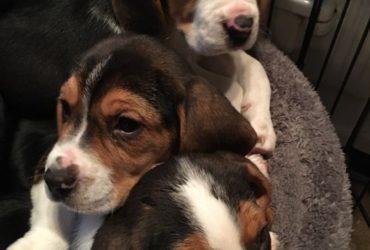 Beautiful Pedigree Beagle Pups Pra Clear