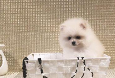 Maltipom Idcr Registered Puppies